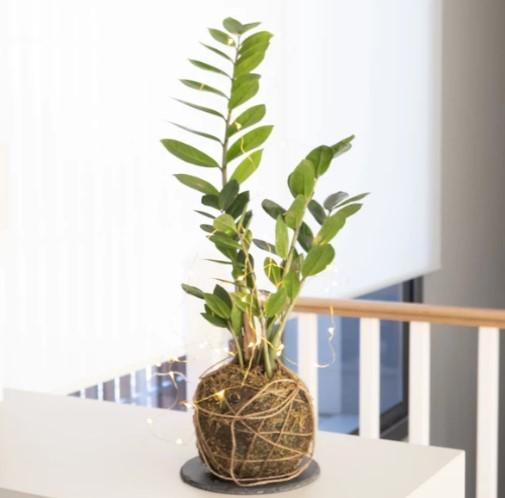 Planta Feng Shui
